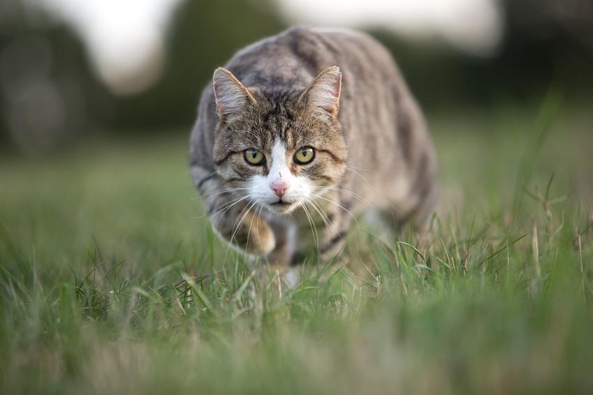 Kotka biegnąca po trawniku, a także cieczka i ruja u kotki oraz ile trwa