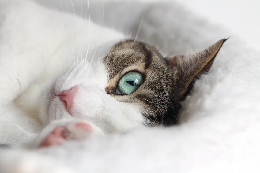 Kotka leżąca na miękkim posłaniu, a także ruja u kotki i cieczka oraz objawy