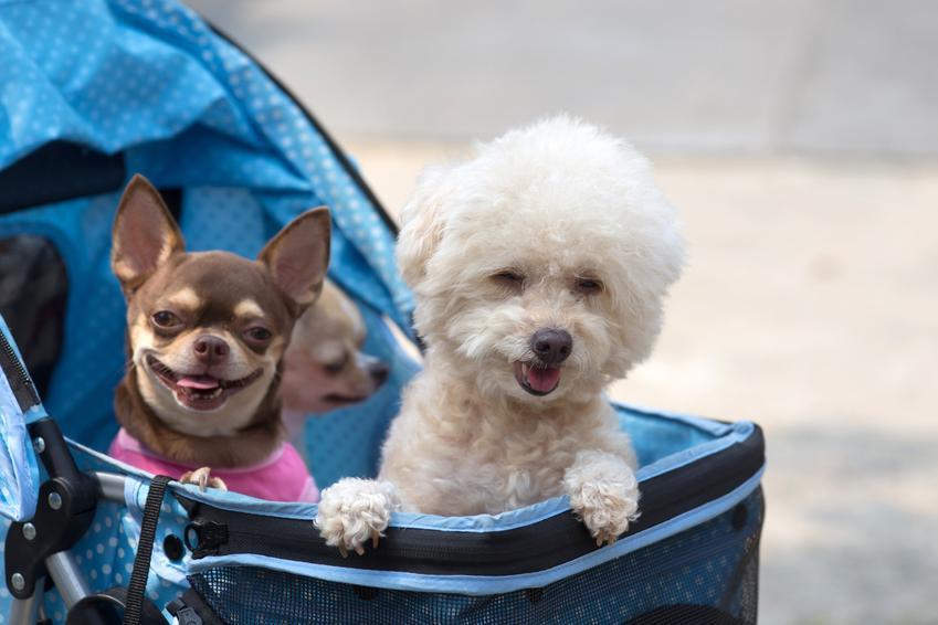 Dwa psy w wózku podczas spaceru, a także wózek dla psa spacerowy i porady