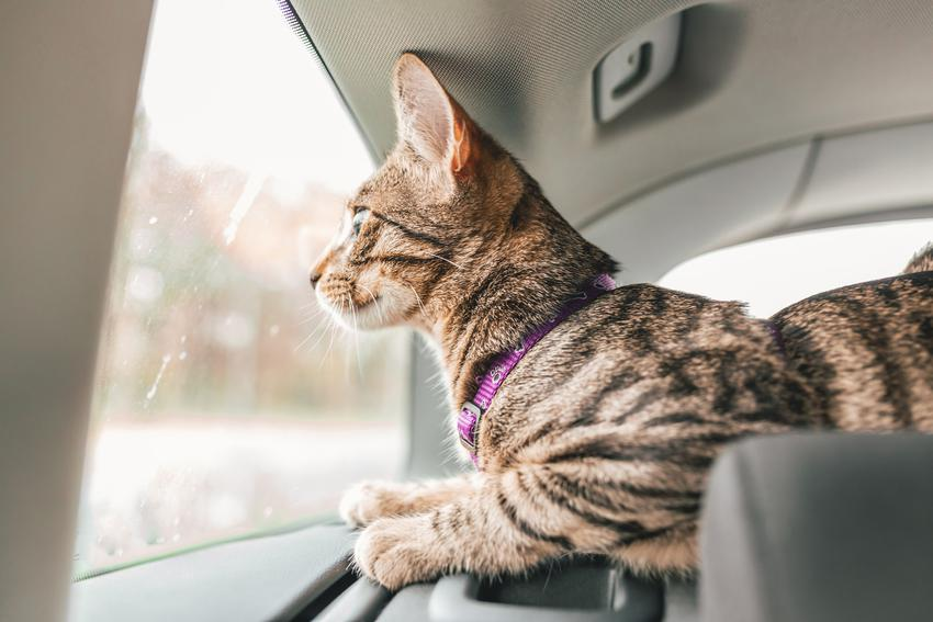 Kot w samochodzie wyglądający przez okno, a także porady jak przewozić kota w aucie