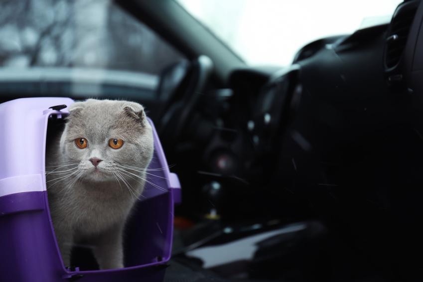 Kot w samochodzie w transporterze, a także jak przewozić i transportować kota w samochodzie
