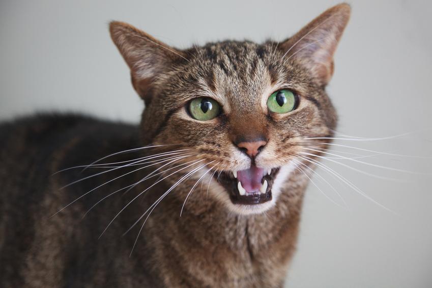 Kot miauczący na szarym tle, a także po co kotu wąsy, ich znaczenie i do czego służą
