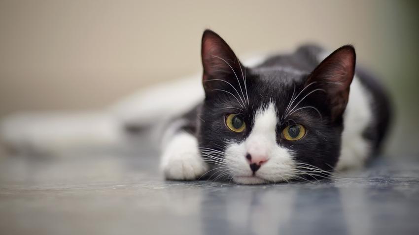 Kot leżący na podłodze, a także wzrok kota, pole widzenia i czy koty widzą kolory
