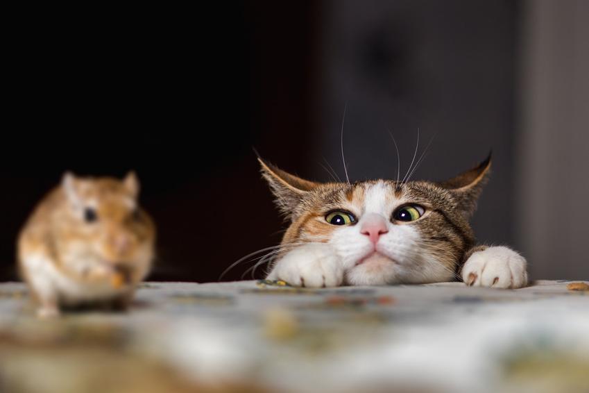 Kot obserwujący mysz na stole, a także informacje, czy koty jedzą myszy