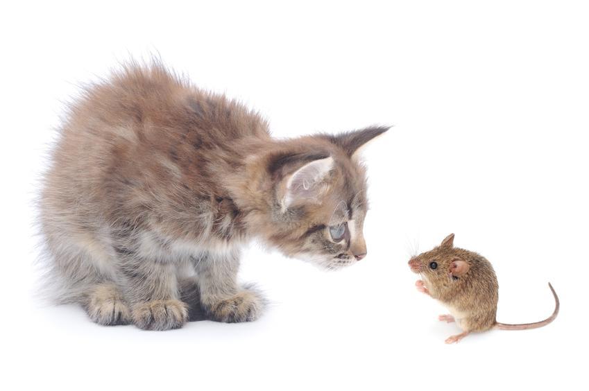 Mały kot przyglądający się myszy na białym tle, a także informacje, czy koty jedzą myszy