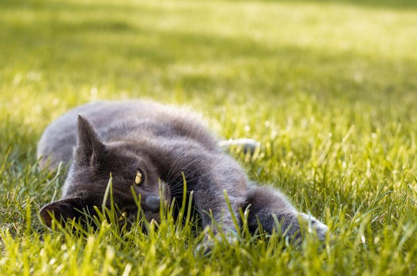 Kot leżący na trawie w czasie upału, a także porady i sposoby, jak ulżyć kotu podczas upału