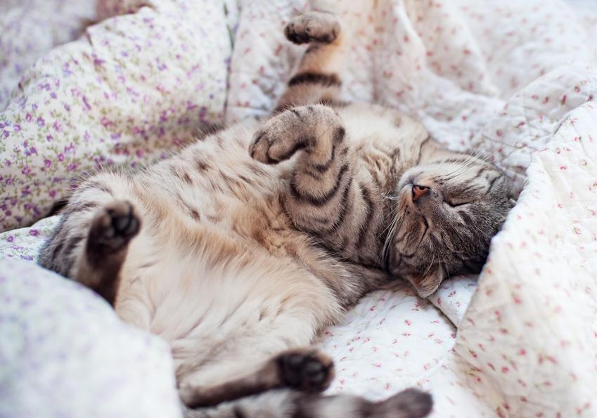 Kot leżący na łóżku i śpiący, a także informacje ile śpi kot, koty na dobę