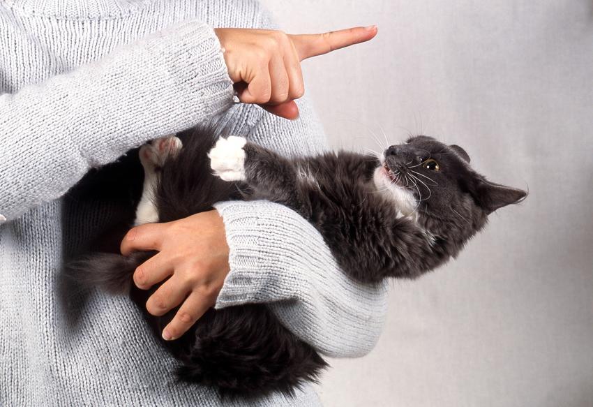 Właściciel karcący niegrzecznego kota, a także agresywny kot i agresja u kota