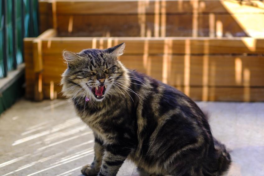 Miauczący kot na balkonie, a także agresywny kot i agresja u kota oraz jej powody
