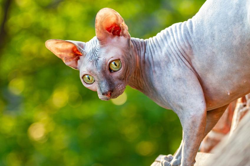 Piękny kot sfinks na zielonym tle, a także jego charakter, wychowanie, hodowla i cena