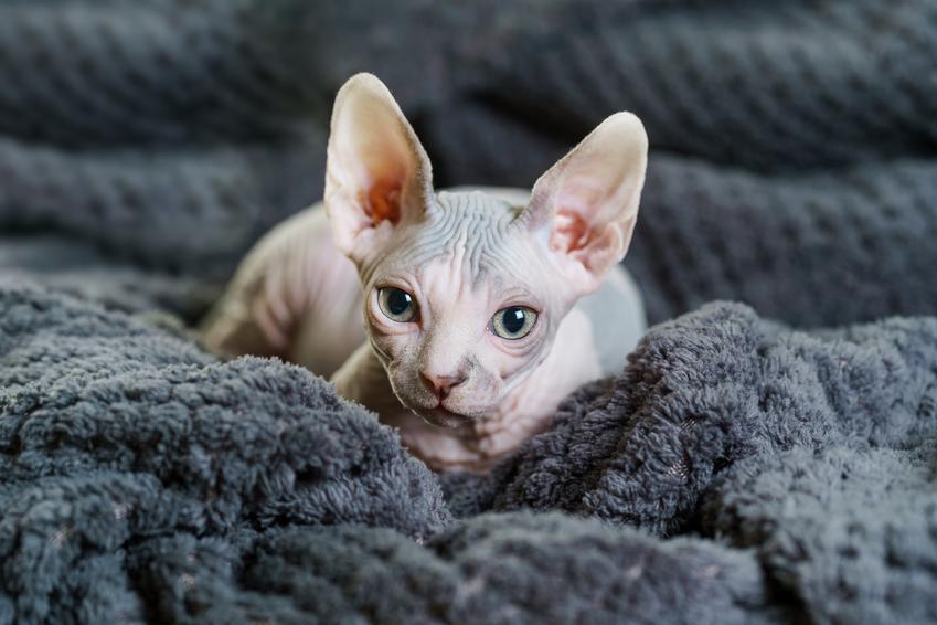 Kot sphinx na szarym kocu, a także jego usposobienie i cena kota sfinksa