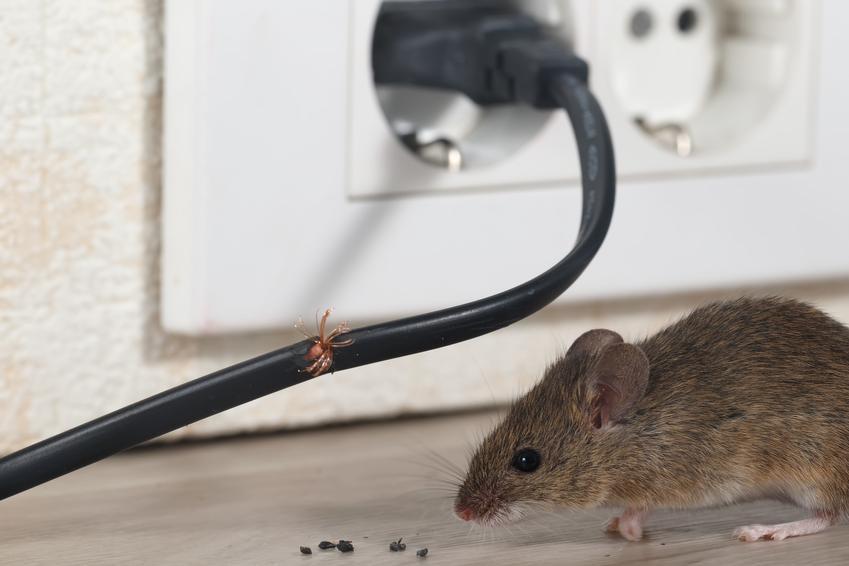 Mysz przegryzająca kabel oraz porady, jak złapać mysz bez zabijania
