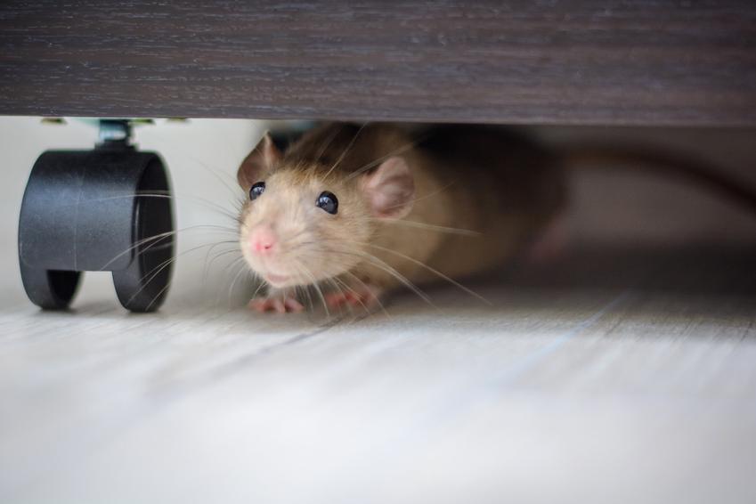Mysz pod meblami w domu, a także jak złapać mysz skutecznie i szybko