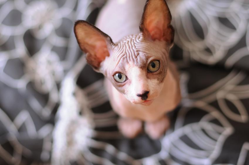 Łysy kot na dywanie patrzący w obiektyw, a także łyse koty i gołe koty krok po kroku