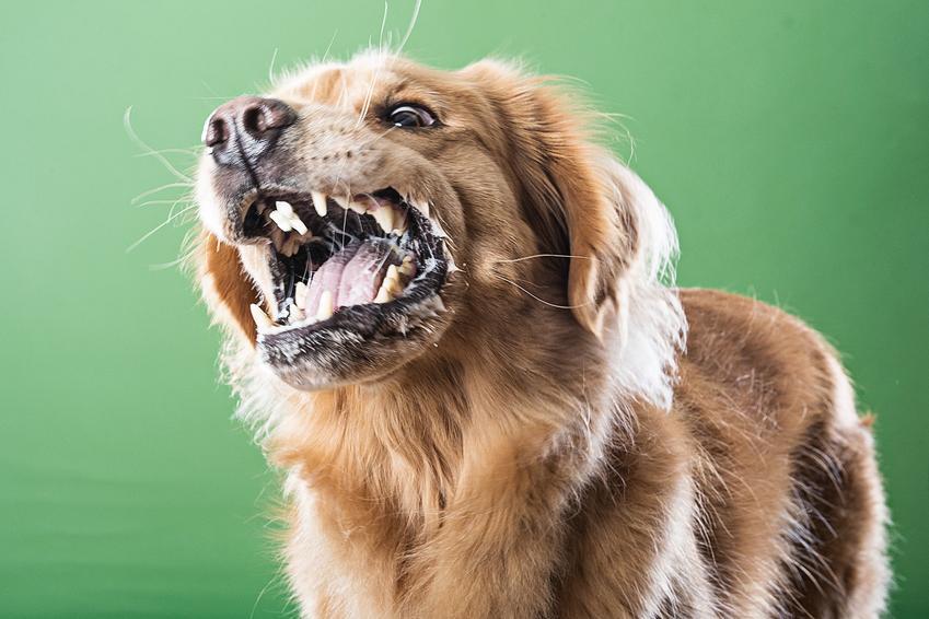 Pies z wścieklizną na zielonym tle, a także wścieklizna u psa, objawy i leczenie