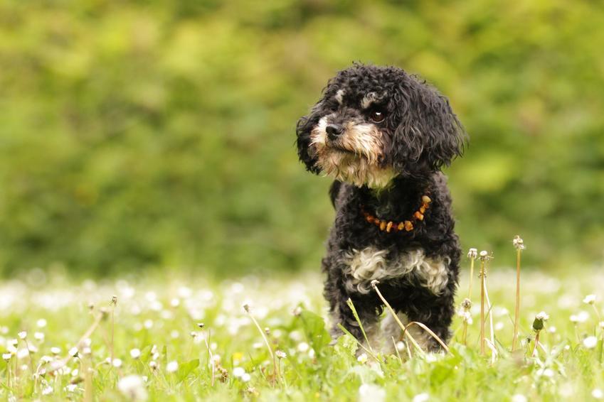Pies rasy bolończyk kolorowy biegający po trawniku, a także jego charakter i hodowla