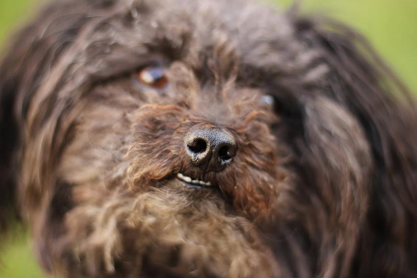 Pies rasy bolończyk kolorowy i zbliżenie na portrecie, a także jego charakter i hodowla