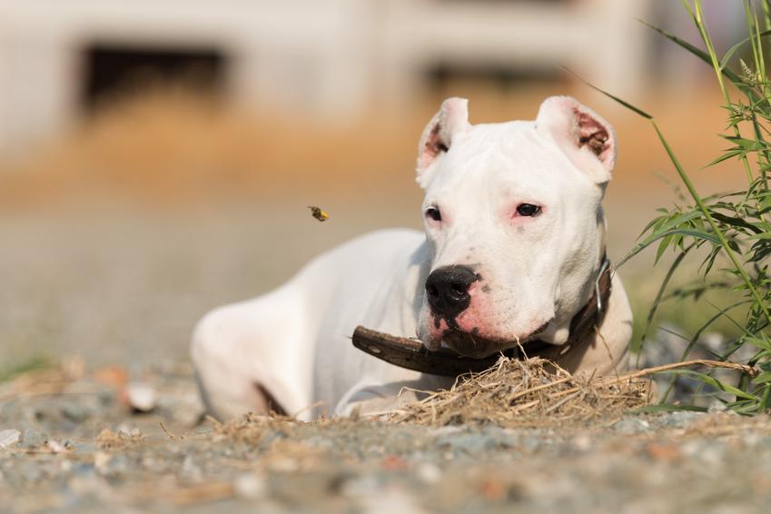 Pies rasy buldog argentyński leżący na ziemi, a także jego charakter i hodowla