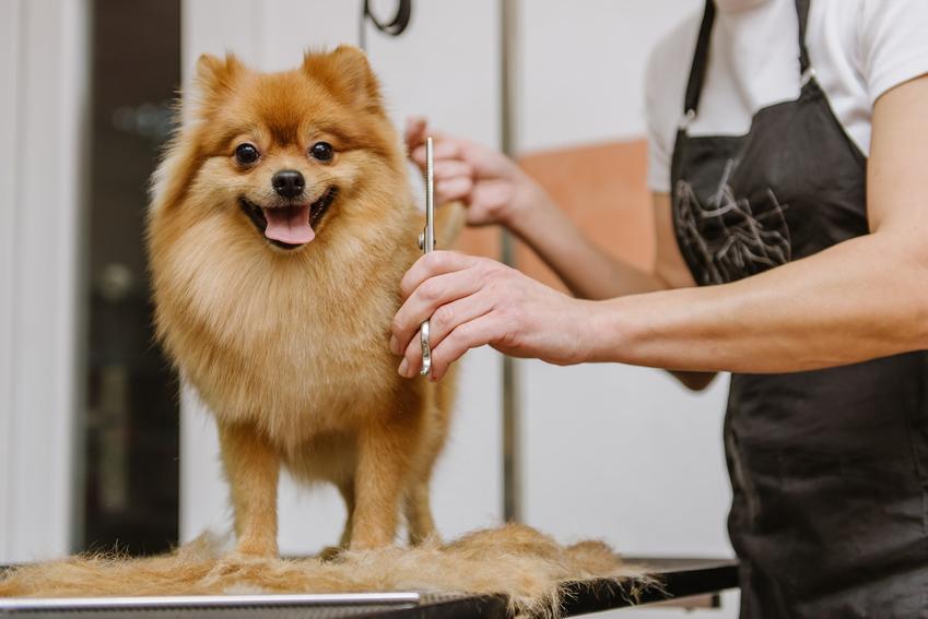 Pies rasy szpic miniaturowy u fryzjera, a także cena szpica miniaturowego bez rodowodu i z rodowodem