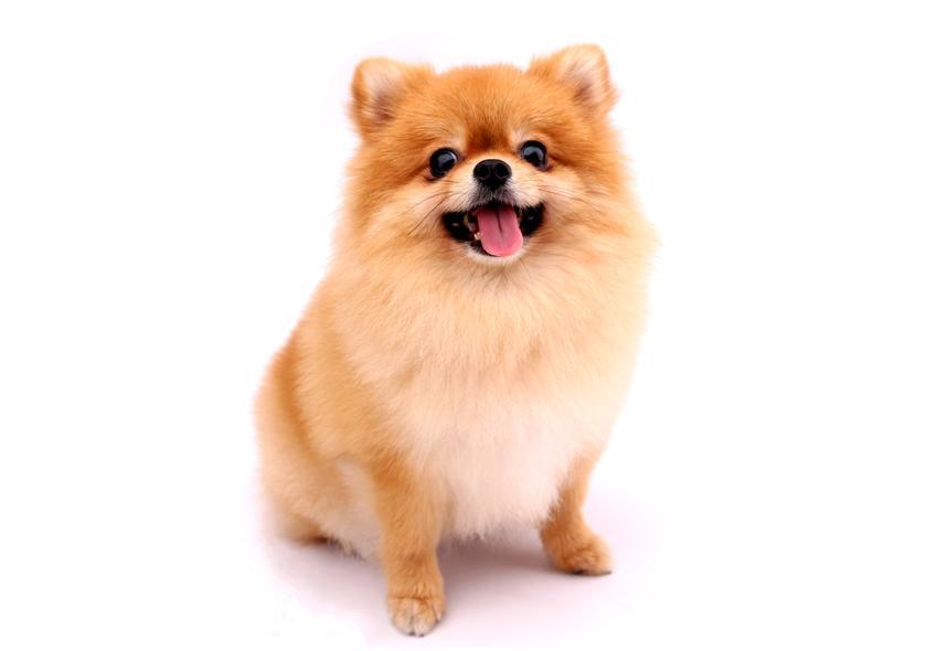 Pies rasy szpic miniaturowy na białym tle, a także cena szpica miniaturowego bez rodowodu i z rodowodem