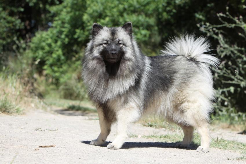 Pies rasy szpic wilczy na tle zieleni, a także opis, charakter, hodowla i cena