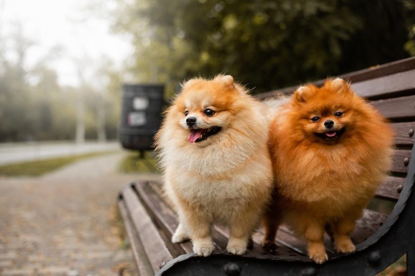 Psy rasy szpic miniaturowy siedzące na ławce, a także umaszczenie szpica miniaturowego
