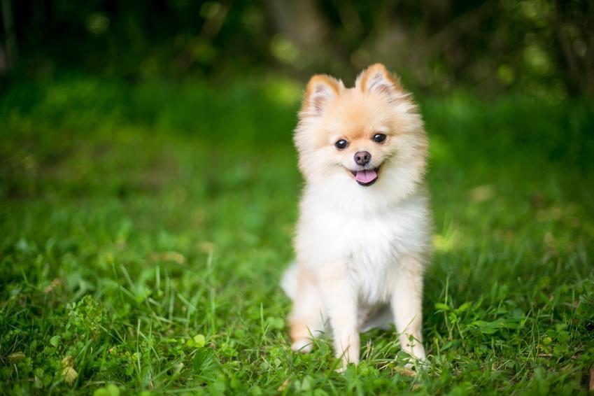 Pies rasy szpic miniaturowy na tle trawnika, a także hodowla szpica miniaturowego w Polsce