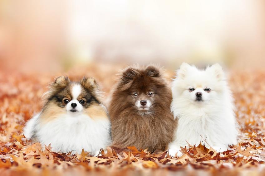 Szczeniaki psa rasy szpic mniaturowy na tle liści, a także hodowla szpica miniaturowego w Polsce
