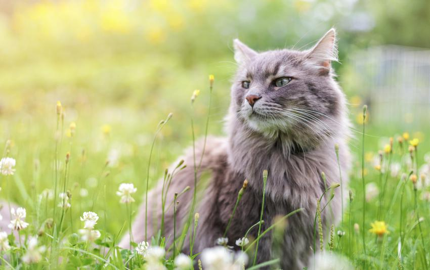 Kot syberyjski siedzący w trawie, a także polecana hodowla kotów syberyjskich