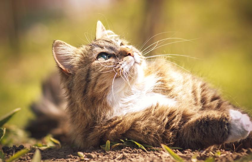Kot syberyjski wygrzewający się na słońcu oraz hodowla kotów syberyjskich
