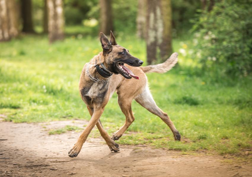 Pies biegający w lesie, a także dysplazja stawu biodrowego u psa i leczenie