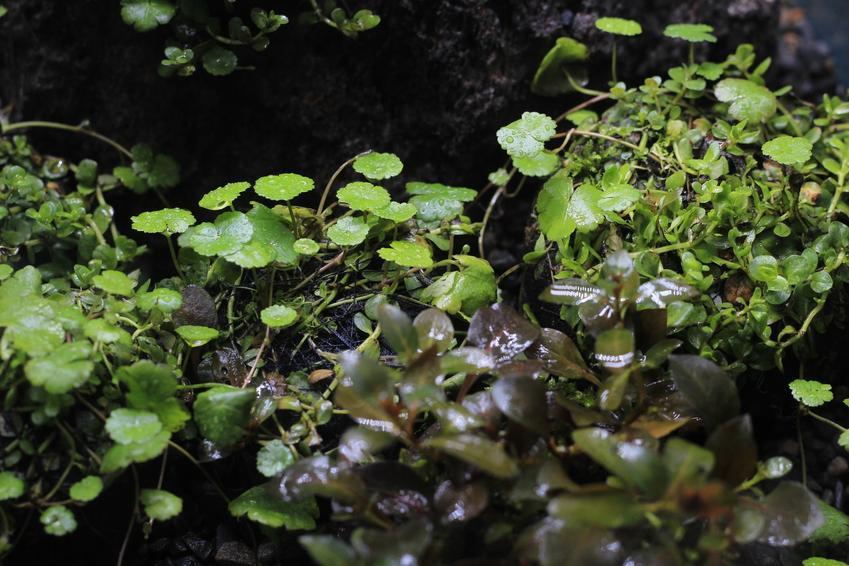 Roślina akwariowa staurogyne repens w akwarium, a także potrzebne warunki i wymagania