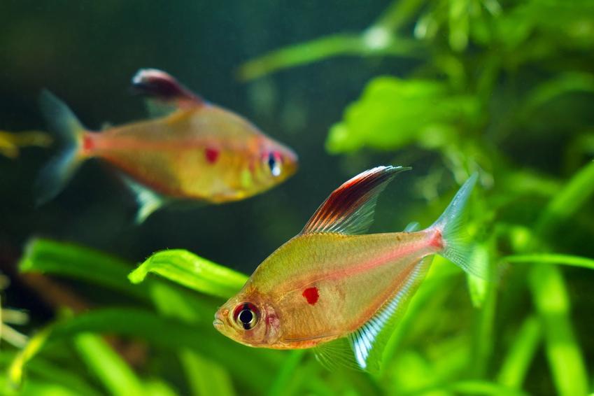 Rybki w akwarium i roślina echinodorus tenellus, żabienica delikatna w tle, a także jej wymagania