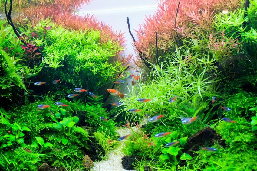 Rośliny w akwarium, w tym limnophila aromatica, a także jej wymagania i porady