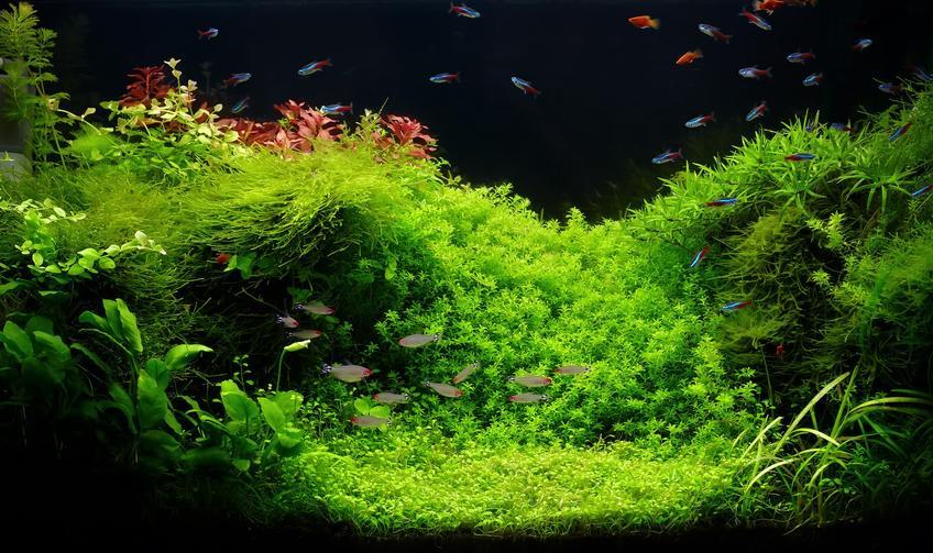 Rośliny mech w akwarium, czyli wątrobowce, ich wymagania, podłoże i sadzenie