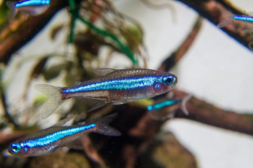 Rybki z gatunku neon simulans, Paracheirodon simulans, czyli wymagania i hodowla