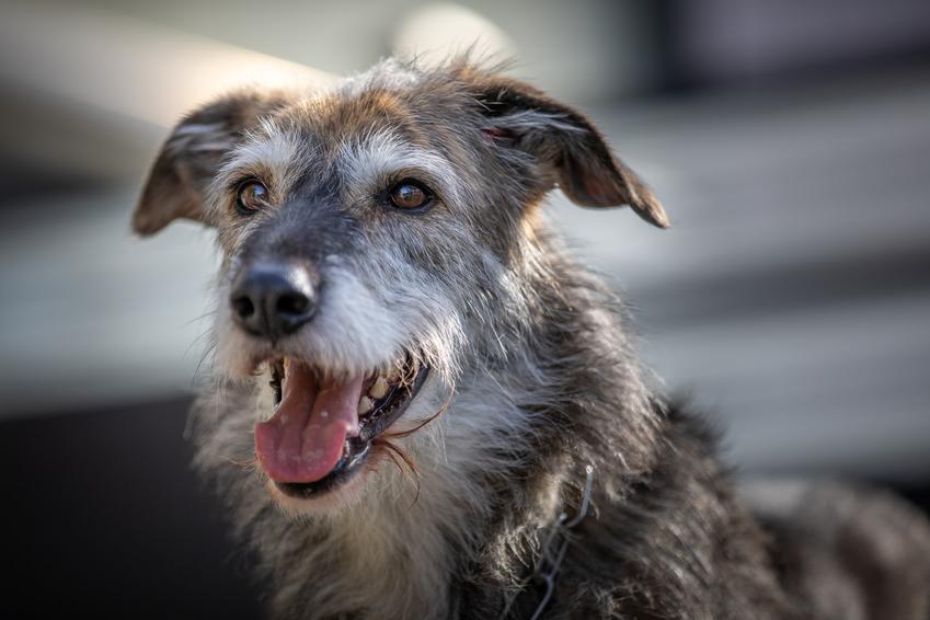Pies rasy chart irlandzki podczas spaceru, a także jego charakter, hodowla i cena