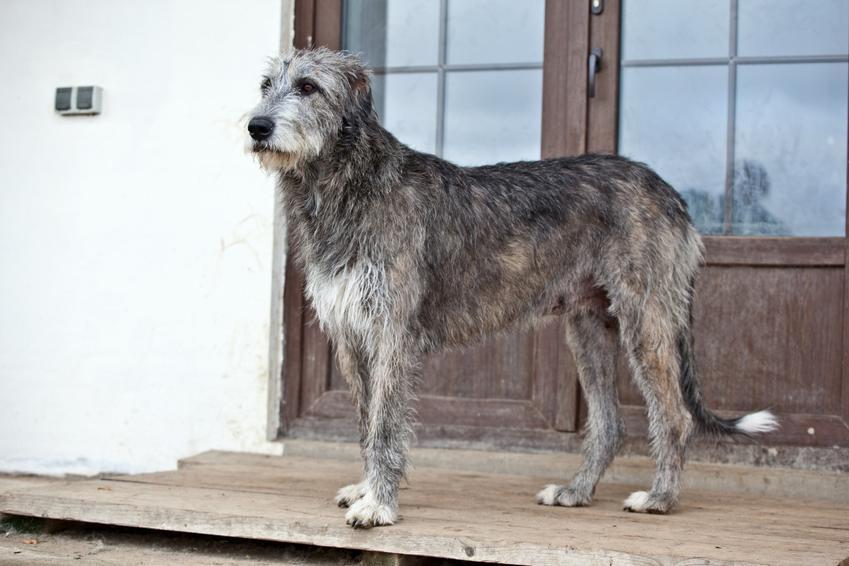 Pies rasy chart irlandzki stojący przed domem, a także jego opis, charakter i cena