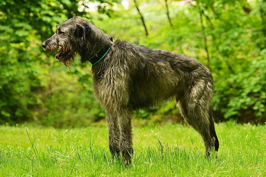 Pies rasy wilczarz irlandzki na tle zieleni, a także jego opis, charakter i cena