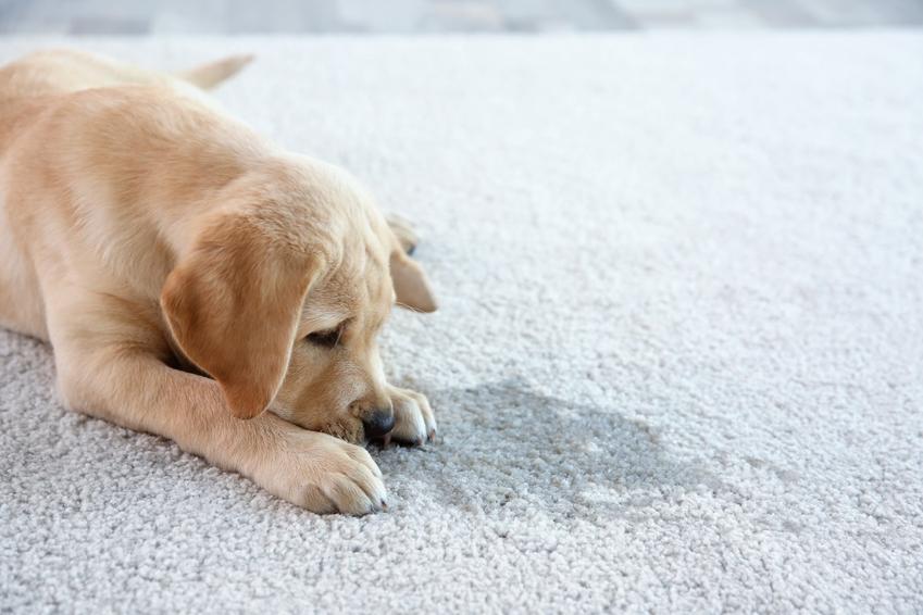 Pies przy mokrej plamie na dywanie oraz skuteczne porady, jak oduczyć psa sikania w domu