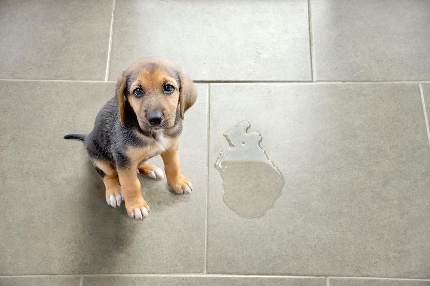 Pies siedzący przy mokrej plamie na płytkach, a także porady i wskazówki, jak oduczyć psa sikania w domu