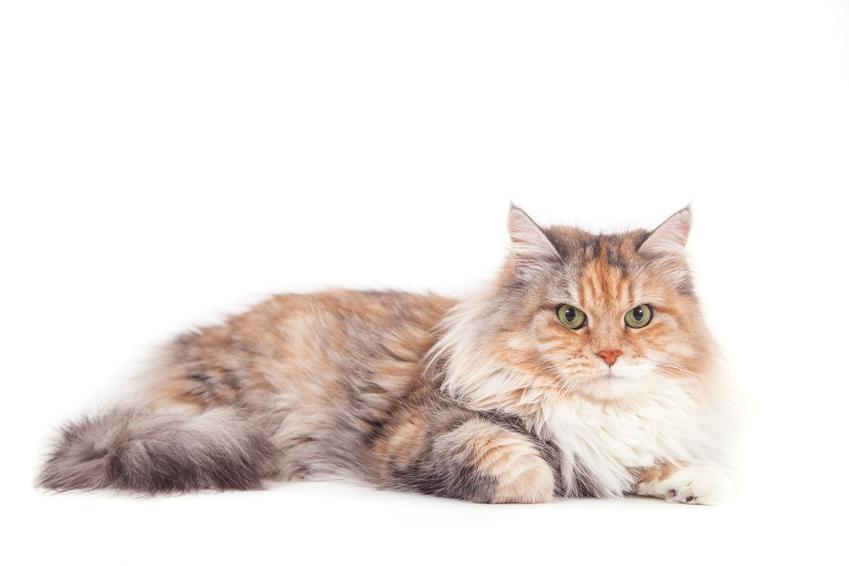 Kot syberyjski na białym tle oraz kolory i umaszczenie kotów syberyjskich