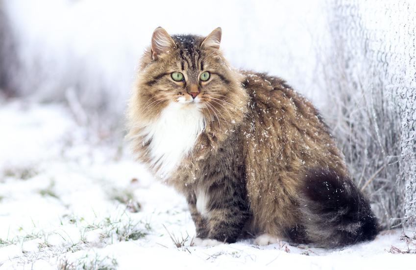Kot syberyjski w czasie zimy, a także kot syberyjski rudy, biały, czarny lub niebieski
