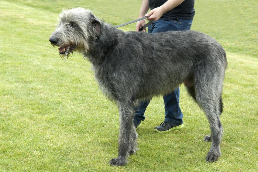 Pies rasy wilczarz olbrzymi na tle zieleni, a także jego opis, charakter i cena