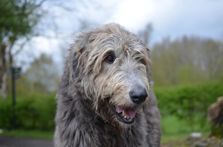 Pies rasy wilczarz olbrzymi podczas spaceru, a także jego charakter, hodowla i cena