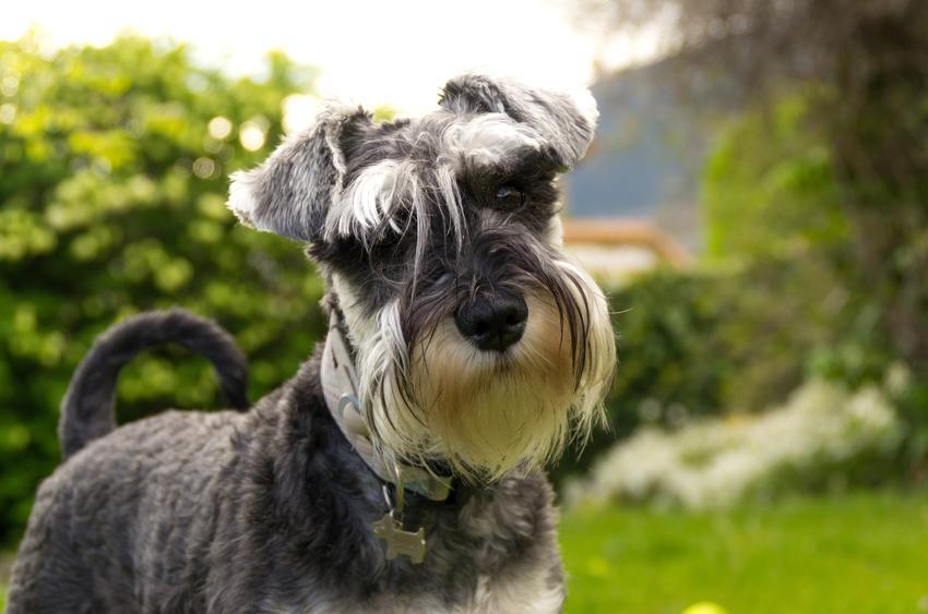 Pies rasy chart miniaturowy na tle zieleni, a także jego usposobienie, cena i opis