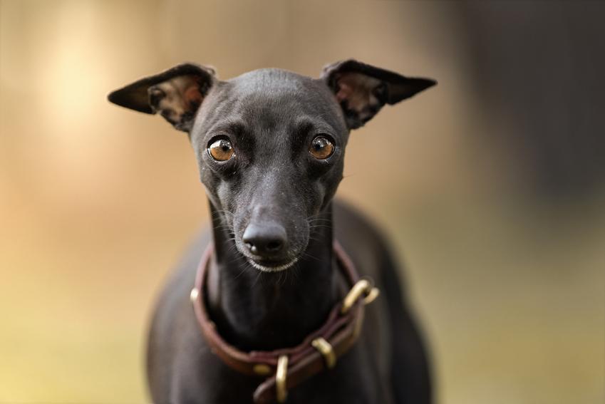 Pies rasy chart włoski podczas spaceru, a także jego charakter, hodowla i cena