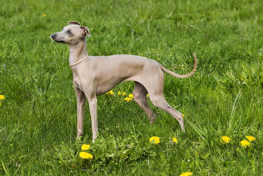Pies rasy chart włoski stojący na trawniku, a także jego opis, charakter i cena