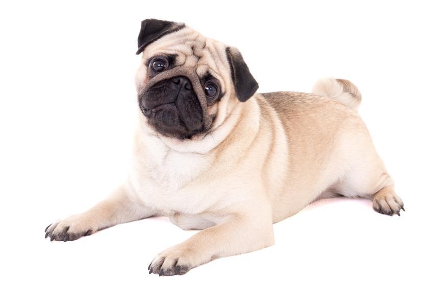 Pies mops na białym tle oraz jego charakter, usposobienie, cena i hodowla