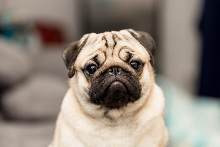 Pies mops siedzący w domu, a także cena mopsa za szczeniaki z rodowodem